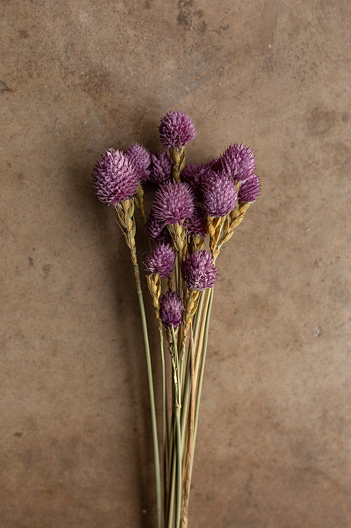 Dried Gomphrena or Amaranth Globe // Purple