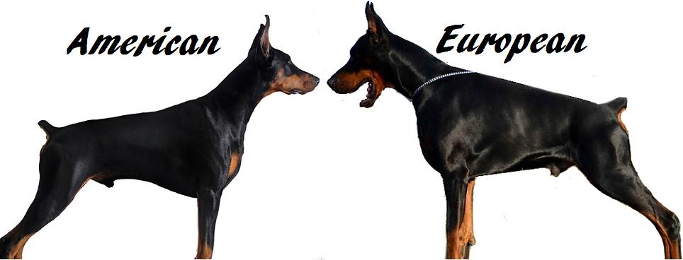 American Doberman Pinscher vs European Dobermann
