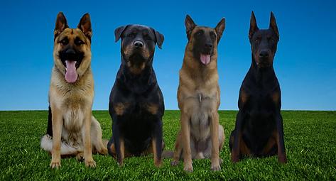 Geman Shepherd, Rottweiler, Belgian Malinois, Doberman