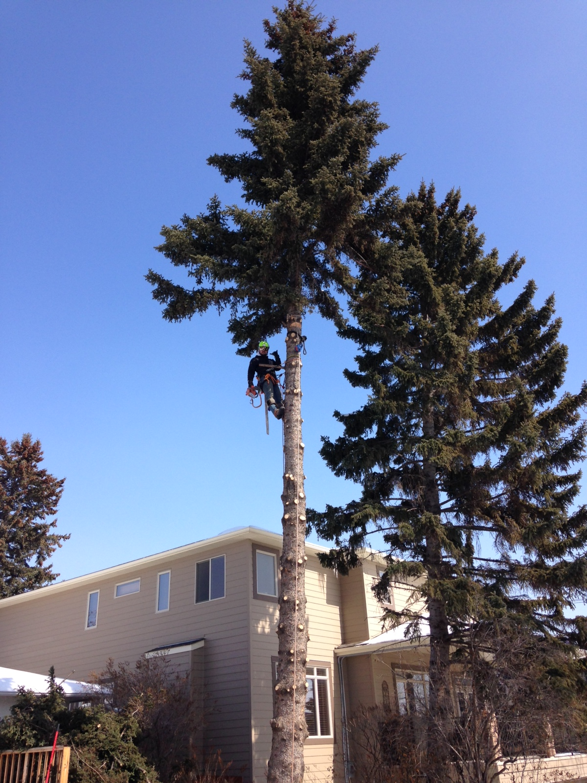 Spruce Removal