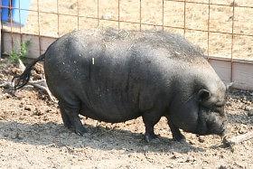 Chr.Schwein.jpg
