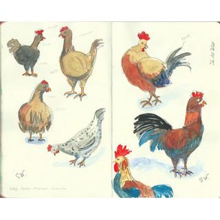 Poules et coq.jpg