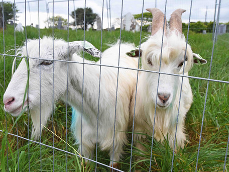 Crosshaven's Visiting Goats Happy To Be Home