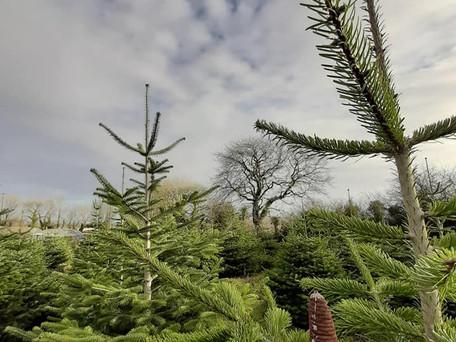 Carrigaline Grown Christmas Trees