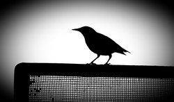 A starling named Raven