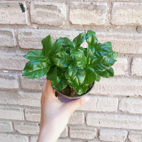 Plante de Café Arabica
