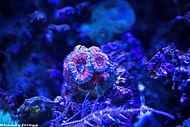 Acanthastrea Species Coral