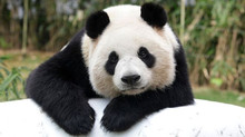 Panda Volunteering: Where can you do it?