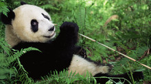 Panda Volunteering, What Exactly Would You Be Doing?