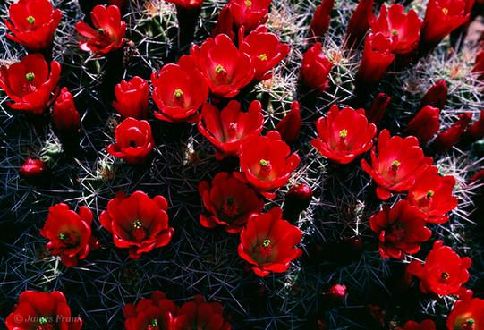 174 Claret Cup Cactus