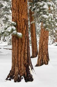 212 Ponderosa Trio in Snow 2x3 cropping