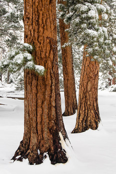 212 Ponderosa Trio in Snow 2x3 cropping