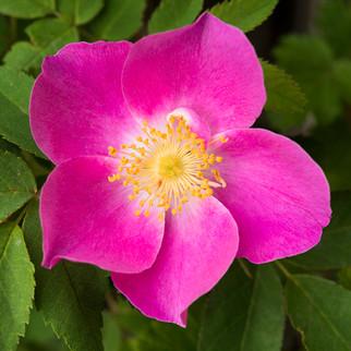 273 Petal Perfect - Wild Rose