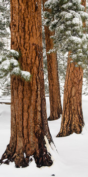 212 Ponderosa Trio in Snow