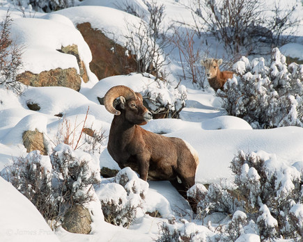 Bighorn and Young Ram in Winter