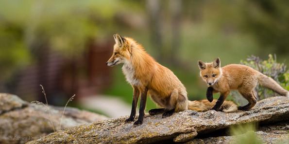 305 Red Fox - Black Leggings