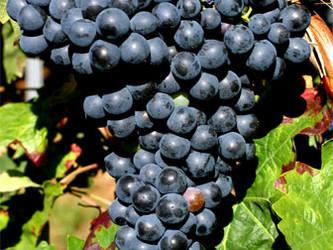 Carignan: Que uva é essa?