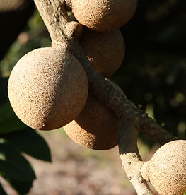 Sugar Apple Annona