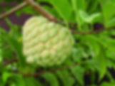 Sugar Apple Annona
