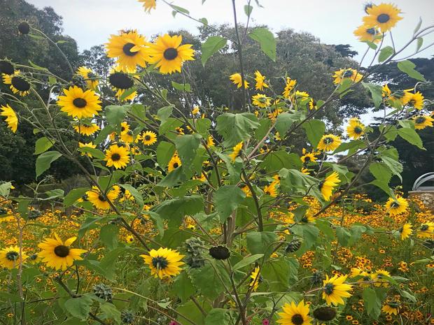 sunflowers%20_edited.jpg