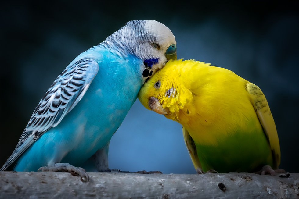 ALL PETS CLUB birds parakeets.jpg