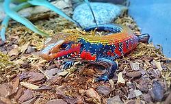 ALLPETSCLUB lizard.jpg