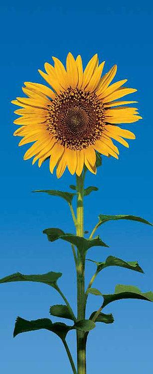 509 Sunflower