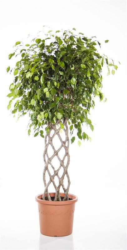 Ficus Benjamia
