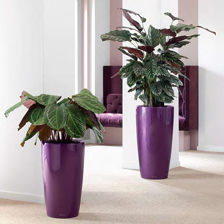Tall Purple