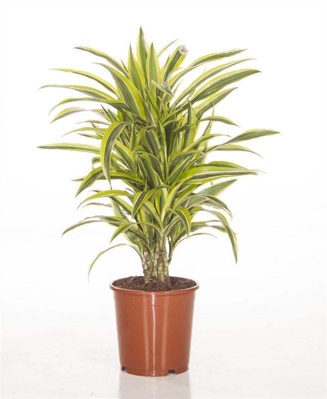 Dracaena Lemon and Lime