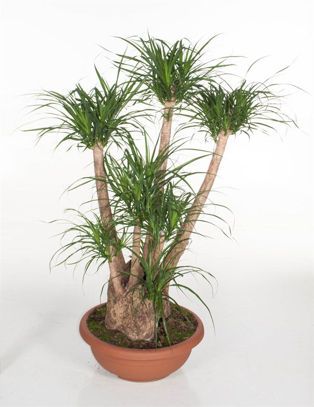 Pony Tail Palm Beaucarnea