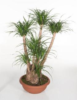 Pony Tail Palm Beaucarnea