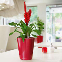 Crimson Planter