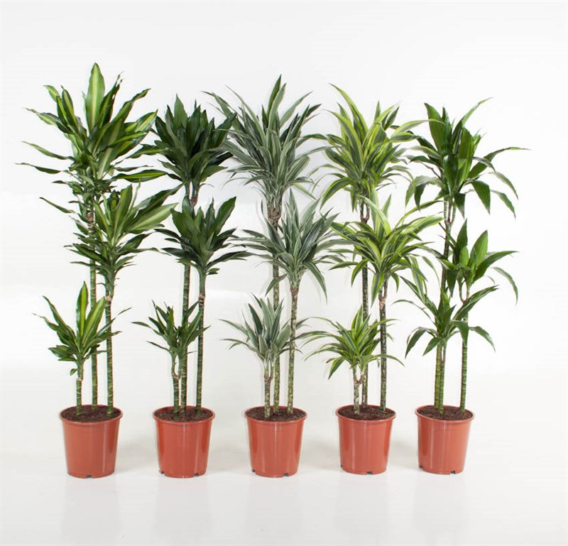 Dracaena Selection