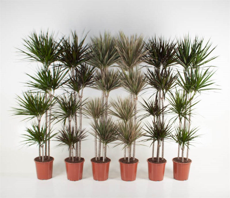 Marginata Selection