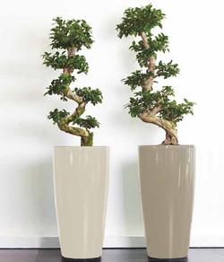Twin Bonsai Trees