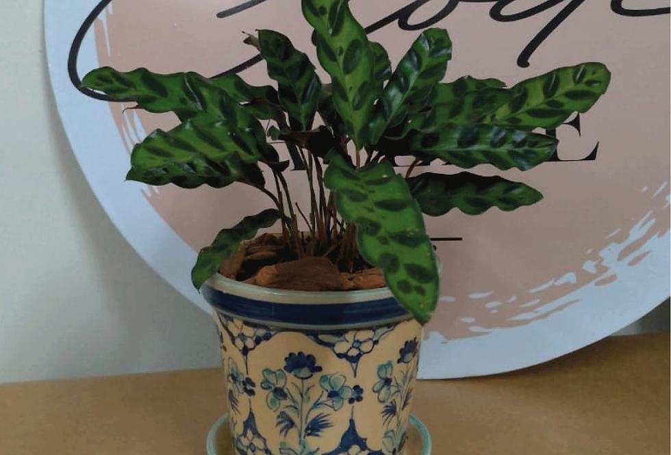 Calathea Lancifolia + Vaso de Cerâmica P