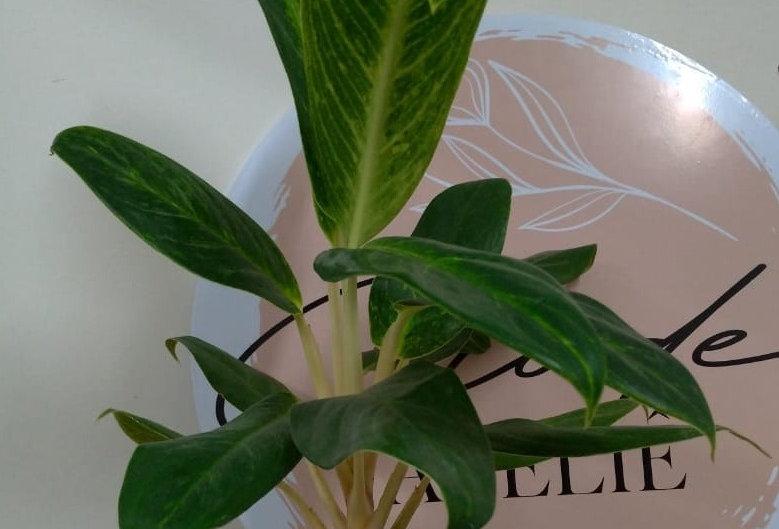Aglaonema Queen + Vaso de Cerâmica M