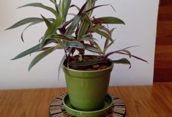 Tradescantia Spathacea + Vaso de cerâmica M