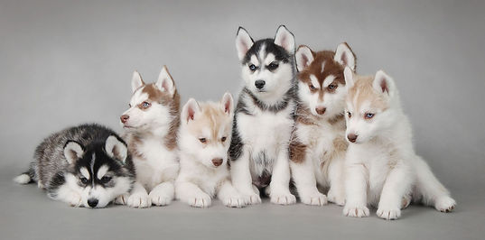 husky snow puppies dog.JPG