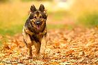 dog running leaves.JPG