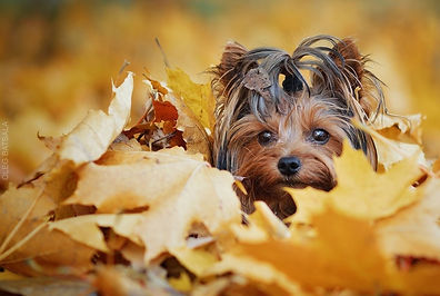 dog in leaves autumn fall.jpg