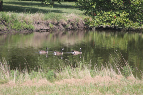 Geese in the pond.