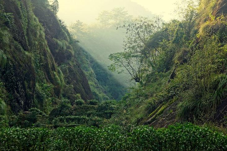 Rock-Tea-Bushes-in-Zhenshan-Wuyi-Mountai