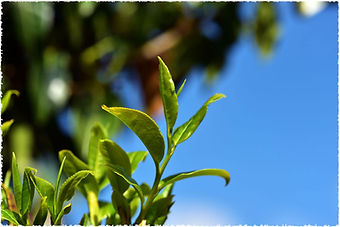 pick_ancient_wild_tree_tea_leaves_170613