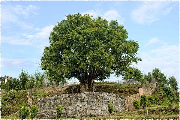 ancient_wild_black_tea_tree_170613_1500.