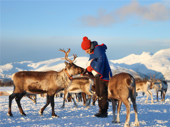 Reindeer feeding at Tromsø reindeer camp