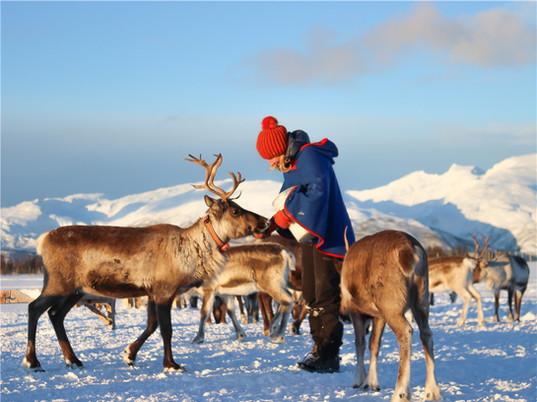Reindeer feeding at Tromsø reindeer camp