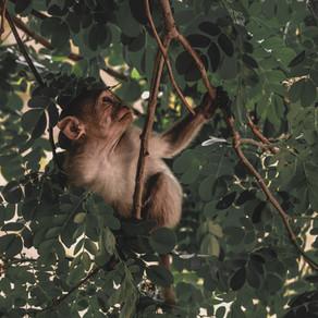 Conheça a teoria do centésimo macaco ou a teoria da ressonância mórfica