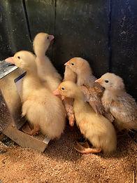Capstone Farm Ducklings.jpeg